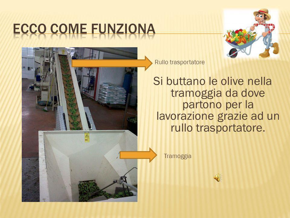 Si buttano le olive nella tramoggia da dove partono per la lavorazione grazie ad un rullo trasportatore.