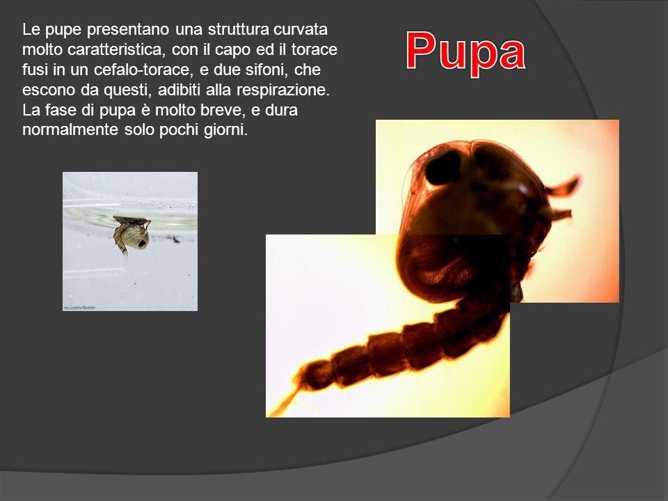 Le pupe presentano una struttura curvata molto caratteristica, con il capo ed il torace fusi in un cefalo-torace, e due sifoni, che escono da questi,