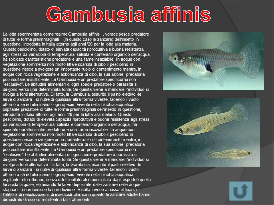 La lotta sperimentata come realme Gambusia affinis, vorace pesce predatore di tutte le forme preimmaginali (in questo caso le zanzare) dell'insetto in