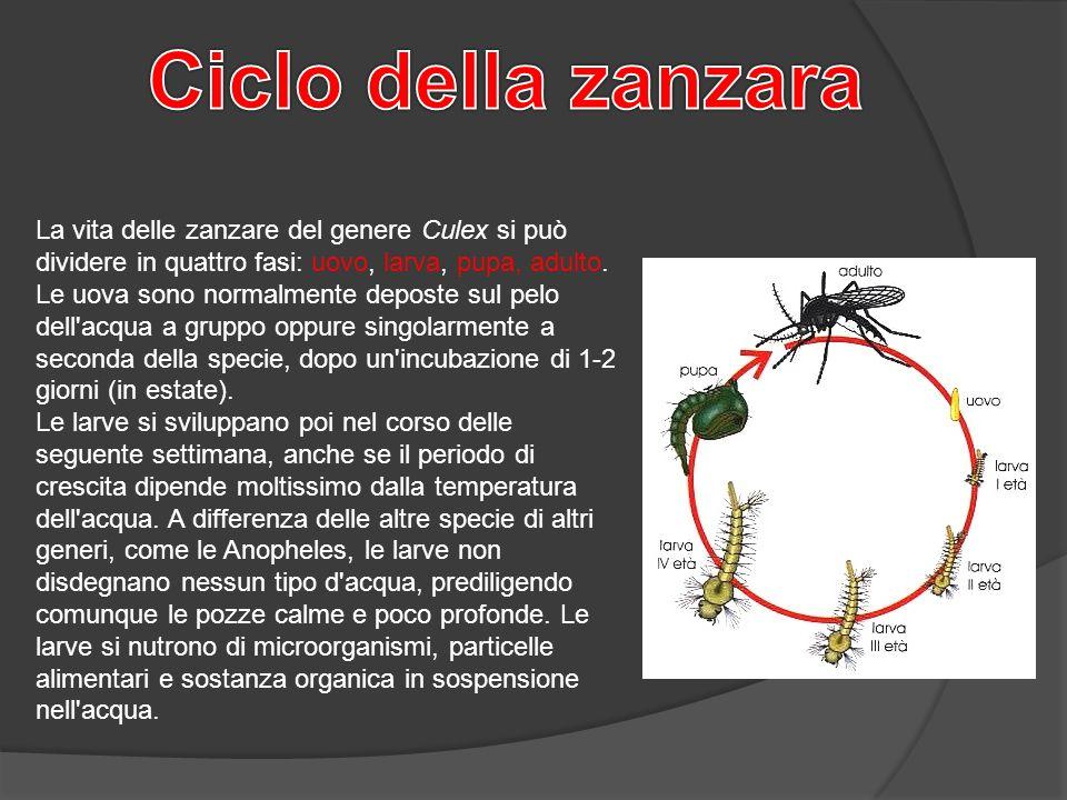 La vita delle zanzare del genere Culex si può dividere in quattro fasi: uovo, larva, pupa, adulto. Le uova sono normalmente deposte sul pelo dell'acqu