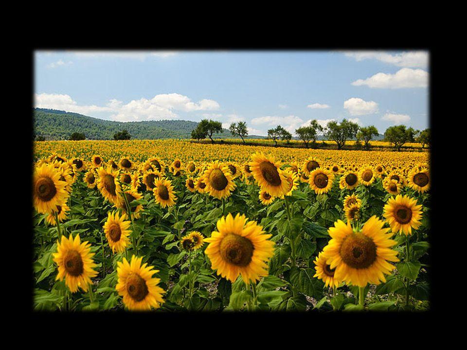 In un campo di girasoli tra tutti i fiori uno era blu...