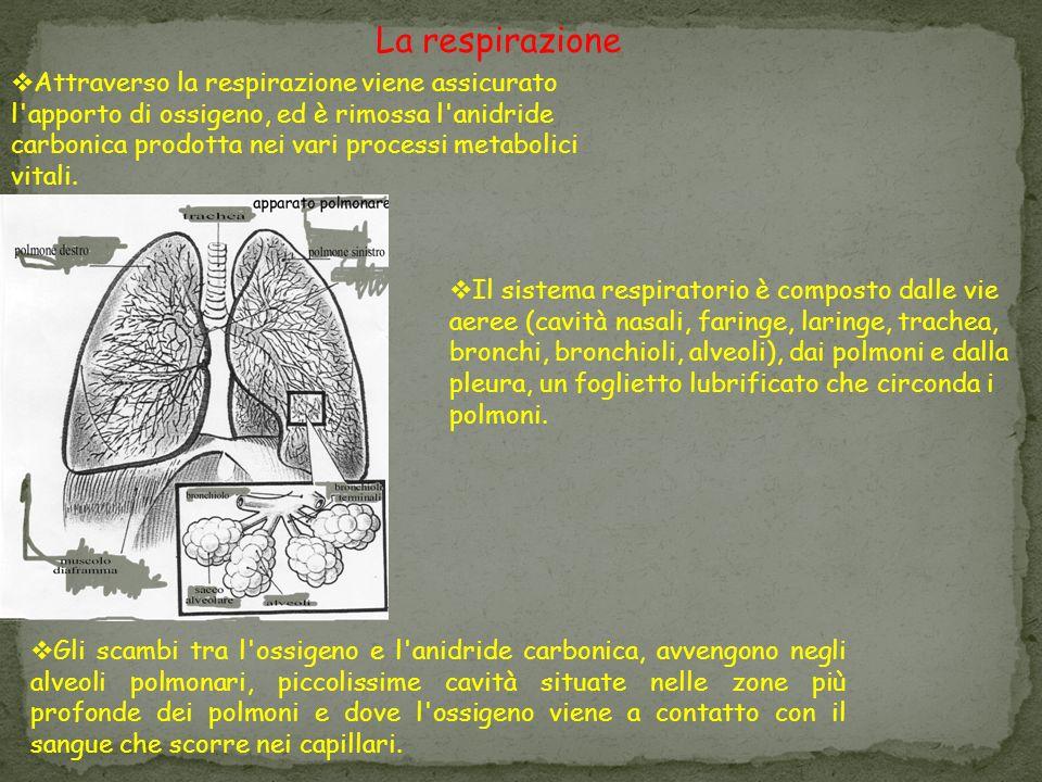 Attraverso la respirazione viene assicurato l apporto di ossigeno, ed è rimossa l anidride carbonica prodotta nei vari processi metabolici vitali.
