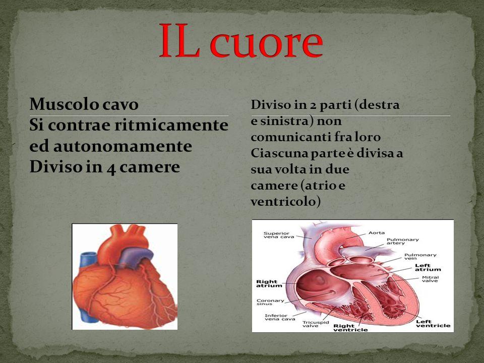 Muscolo cavo Si contrae ritmicamente ed autonomamente Diviso in 4 camere Diviso in 2 parti (destra e sinistra) non comunicanti fra loro Ciascuna parte è divisa a sua volta in due camere (atrio e ventricolo)
