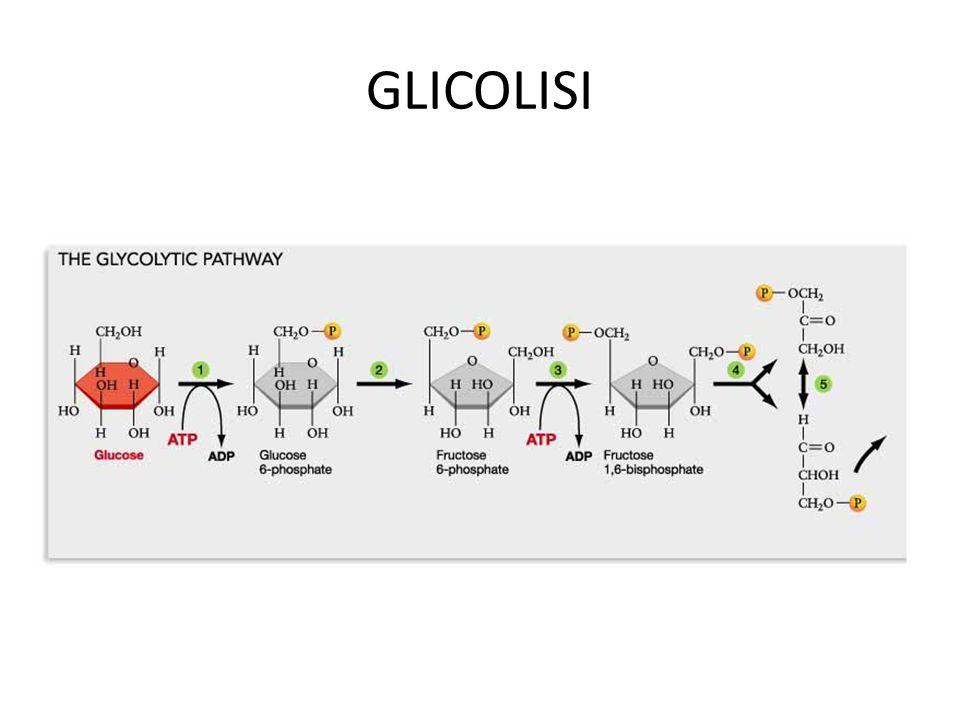 RESPIRAZIONE CELLULARE Permette di estrarre dal glucosio la maggior quantità di ATP in presenza di Ossigeno.