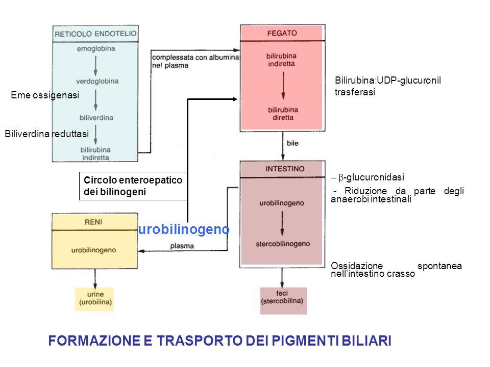 15 Circolazione entero-epatica Schema generale della FORMAZIONE DEI PIGMENTI BILIARI Sistema reticolo-endoteliale di fegato, milza e midollo Catabolismo dellemoglobina Globina (7g/die) EME Eme Ferro riciclato (7mg/die) Bilirubina indiretta (250mg/die) FEGATO Rene Intestino Bile (glucuronidi della bilirubina) Stercobilina (230 mg/die)Urobilina (0,5-3,5 mg/die)
