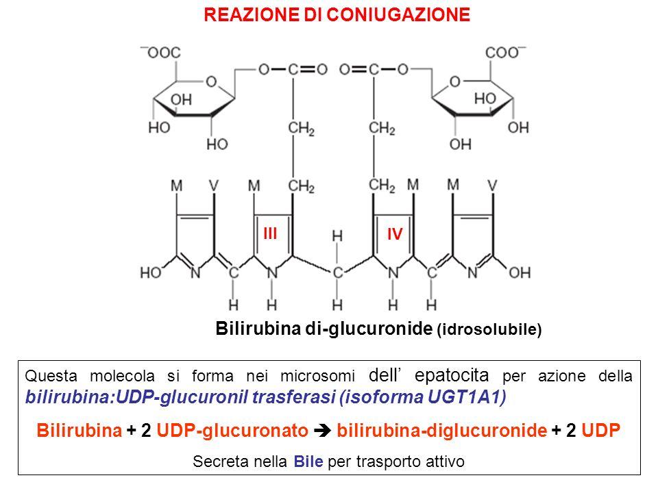 9 Bilirubina di-glucuronide (idrosolubile) Questa molecola si forma nei microsomi dell epatocita per azione della bilirubina:UDP-glucuronil trasferasi