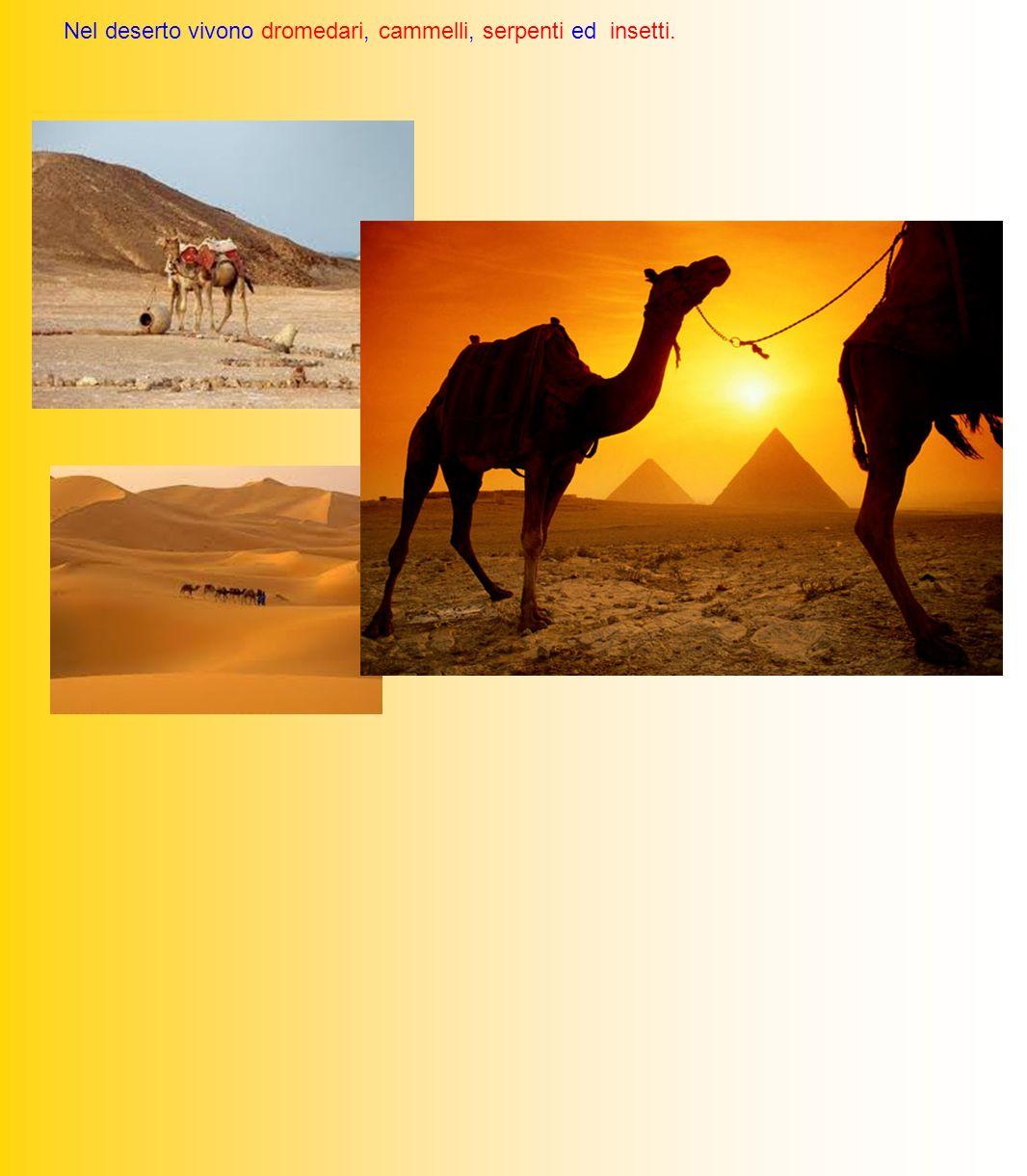 Nel deserto vivono dromedari, cammelli, serpenti ed insetti.