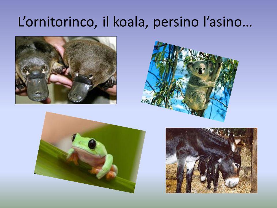 Lornitorinco, il koala, persino lasino…