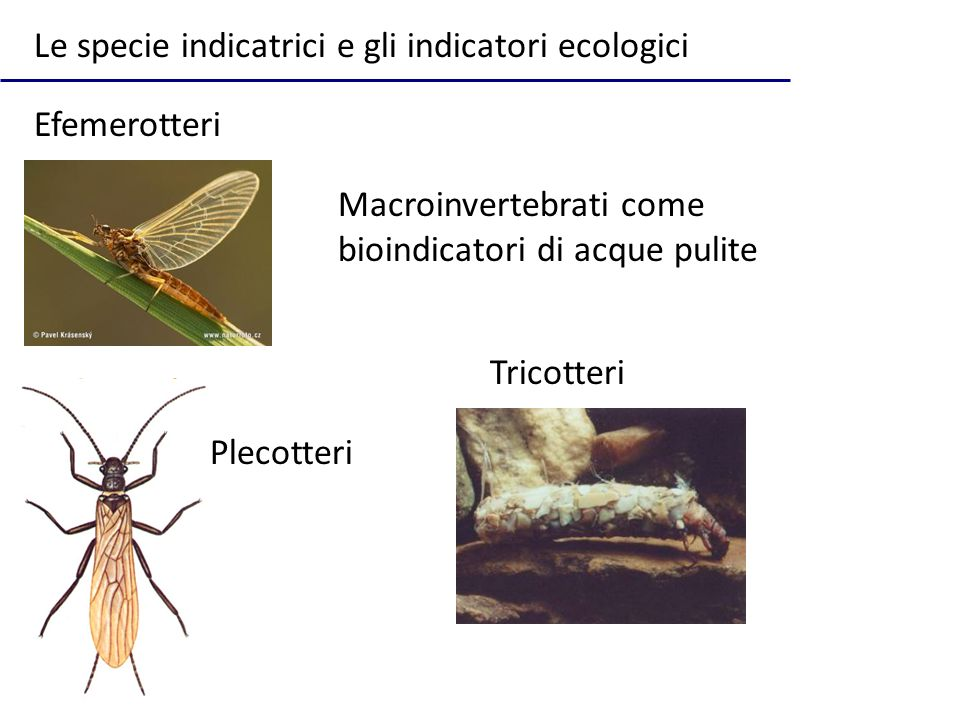 Le specie indicatrici e gli indicatori ecologici Macroinvertebrati come bioindicatori di acque pulite Efemerotteri Plecotteri Tricotteri