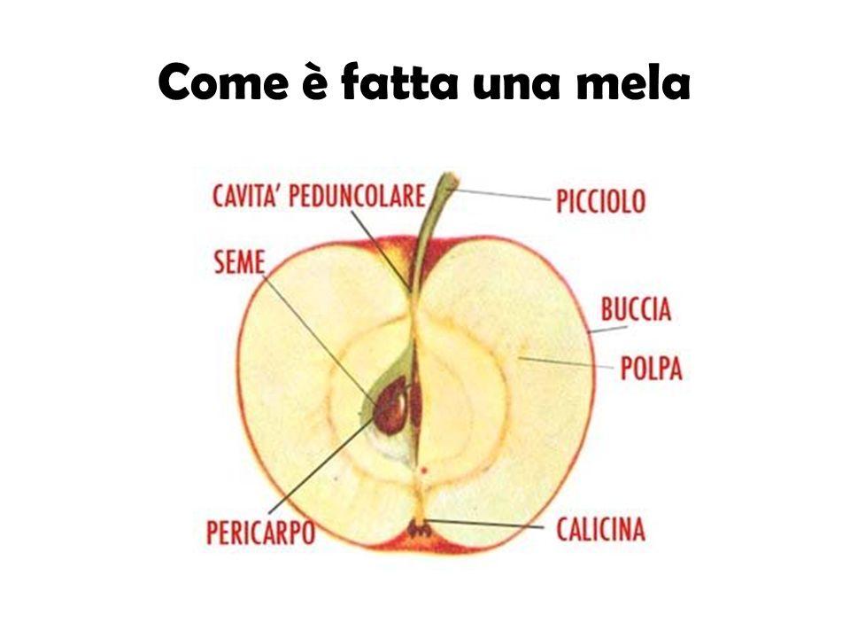 Dalla mela al seme 1.In ogni mela ci sono dei granelli che si chiamano semi.