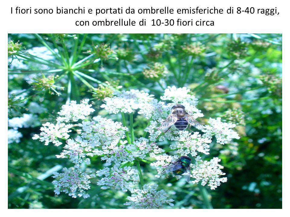 I fiori sono bianchi e portati da ombrelle emisferiche di 8-40 raggi, con ombrellule di 10-30 fiori circa Bruno Casula