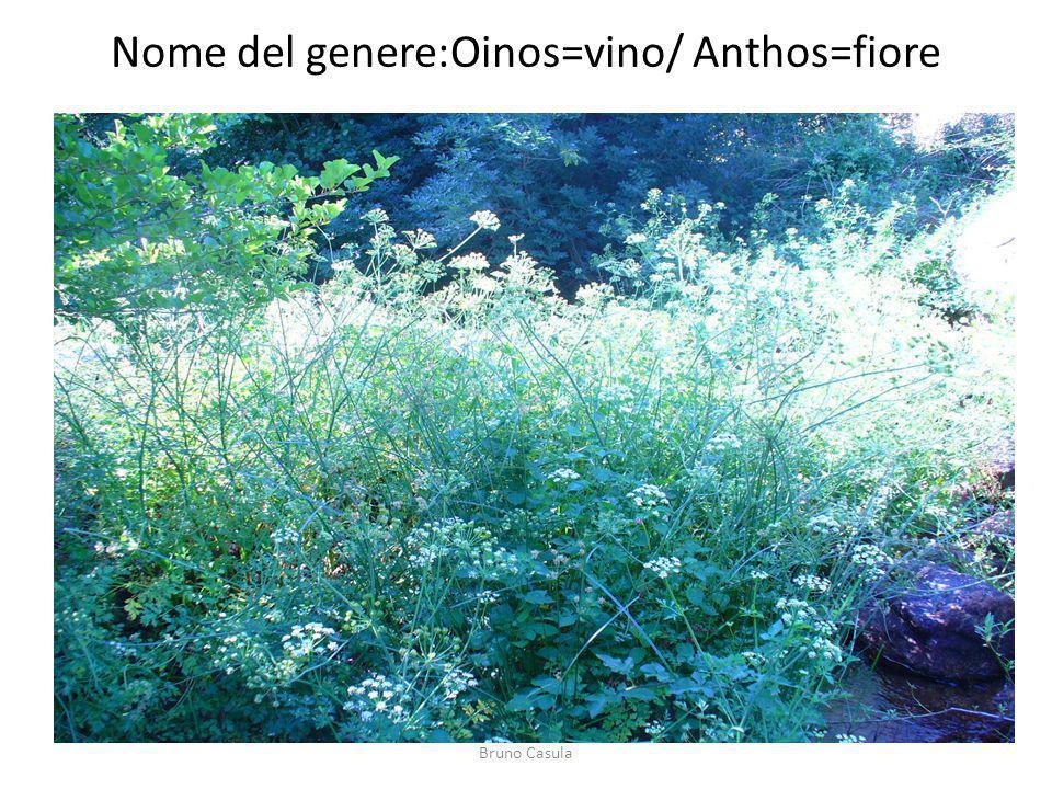 Nome del genere:Oinos=vino/ Anthos=fiore Bruno Casula