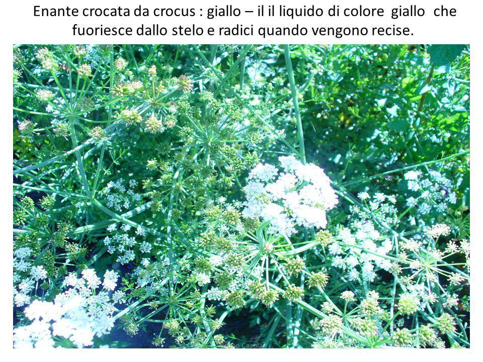 Enante crocata da crocus : giallo – il il liquido di colore giallo che fuoriesce dallo stelo e radici quando vengono recise. Bruno Casula