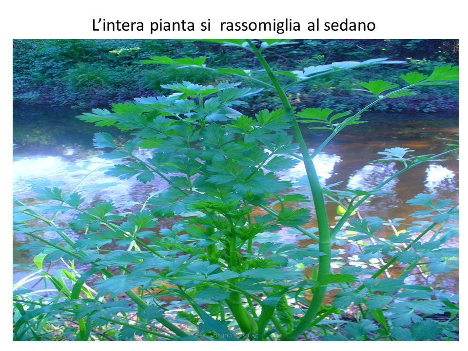 Lintera pianta si rassomiglia al sedano Bruno Casula