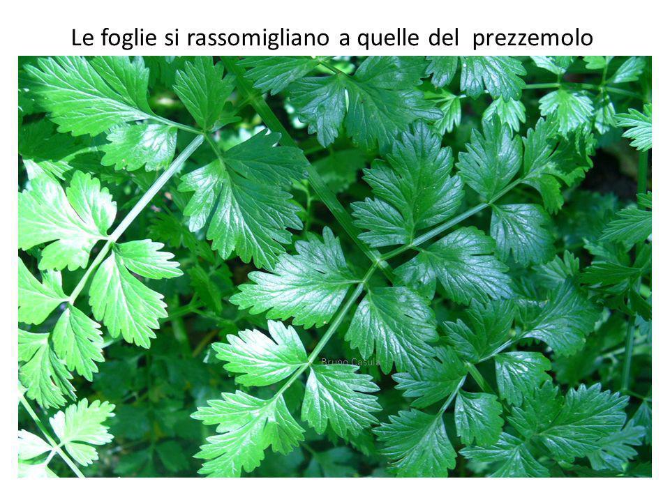 Le foglie si rassomigliano a quelle del prezzemolo Bruno Casula