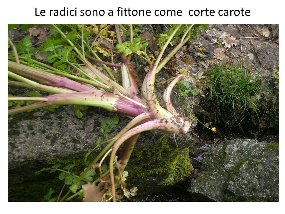 Le radici sono a fittone come corte carote Bruno Casula