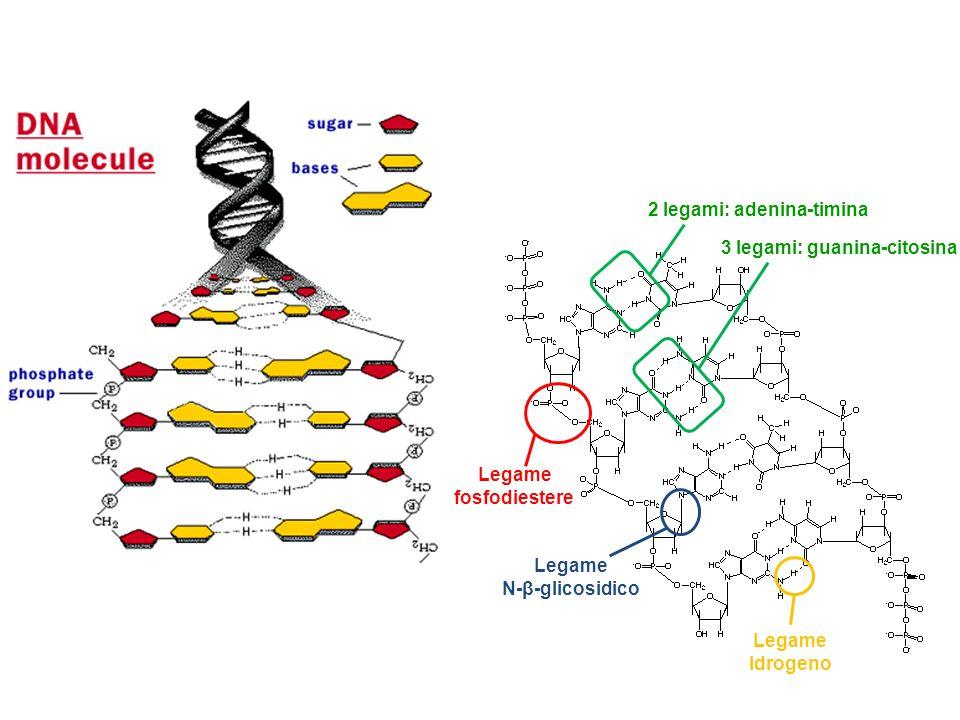 Legame fosfodiestere Legame N-β-glicosidico Legame Idrogeno 2 legami: adenina-timina 3 legami: guanina-citosina RISPOSTA B