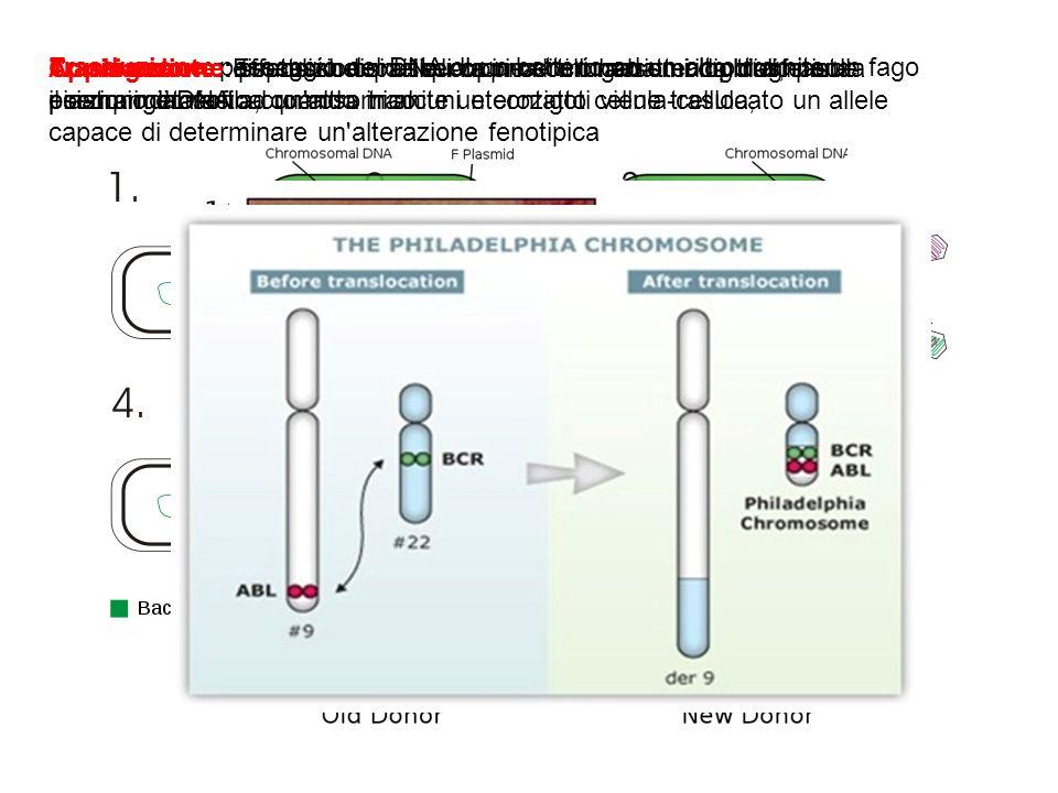 Trasduzione: passaggio del DNA di un batterio ad un altro tramite un fago Coniugazione: processo con il quale una cellula batterica trasferisce porzio