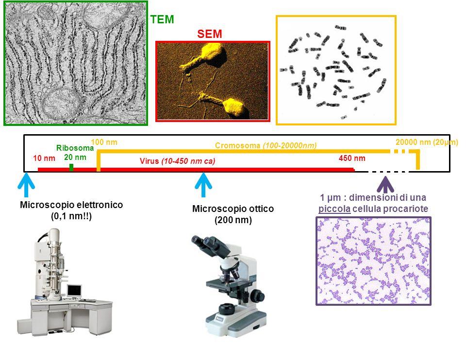 Virus (10-450 nm ca) 10 nm450 nm Cromosoma (100-20000nm) 100 nm20000 nm (20μm) Ribosoma 20 nm 1 μm : dimensioni di una piccola cellula procariote Micr