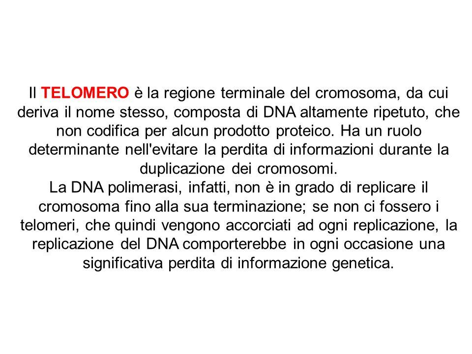 RISPOSTA B Il TELOMERO è la regione terminale del cromosoma, da cui deriva il nome stesso, composta di DNA altamente ripetuto, che non codifica per al