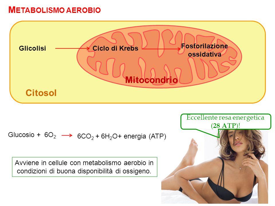 M ETABOLISMO AEROBIO Ciclo di KrebsGlicolisi Fosforilazione ossidativa Citosol Mitocondrio Glucosio + 6O 2 6CO 2 + 6H 2 O+ energia (ATP) Avviene in ce