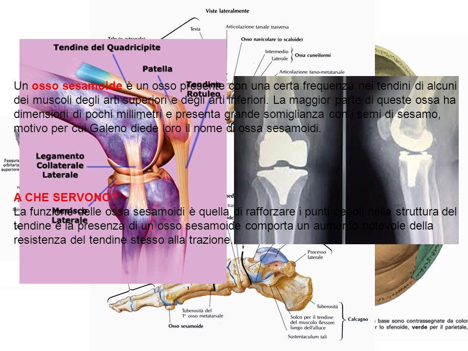 Un osso sesamoide è un osso presente con una certa frequenza nei tendini di alcuni dei muscoli degli arti superiori e degli arti inferiori. La maggior