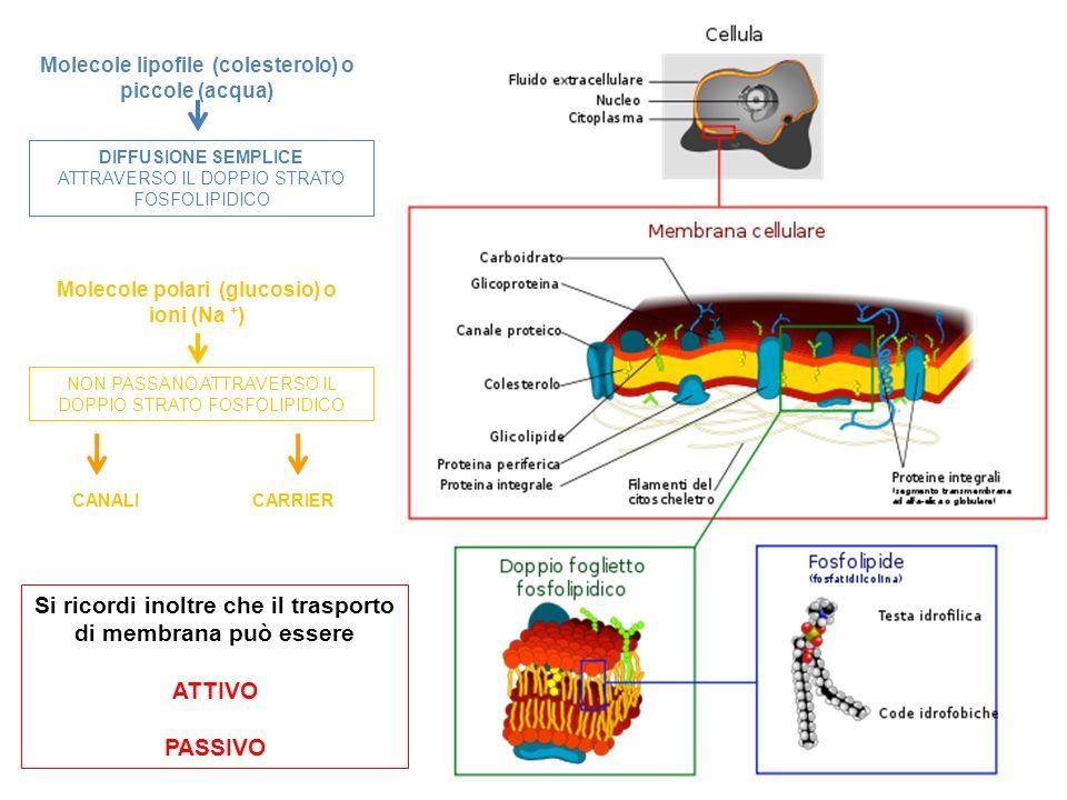 Molecole lipofile (colesterolo) o piccole (acqua) DIFFUSIONE SEMPLICE ATTRAVERSO IL DOPPIO STRATO FOSFOLIPIDICO Molecole polari (glucosio) o ioni (Na