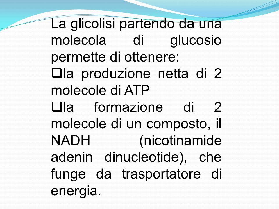 La glicolisi partendo da una molecola di glucosio permette di ottenere: la produzione netta di 2 molecole di ATP la formazione di 2 molecole di un com