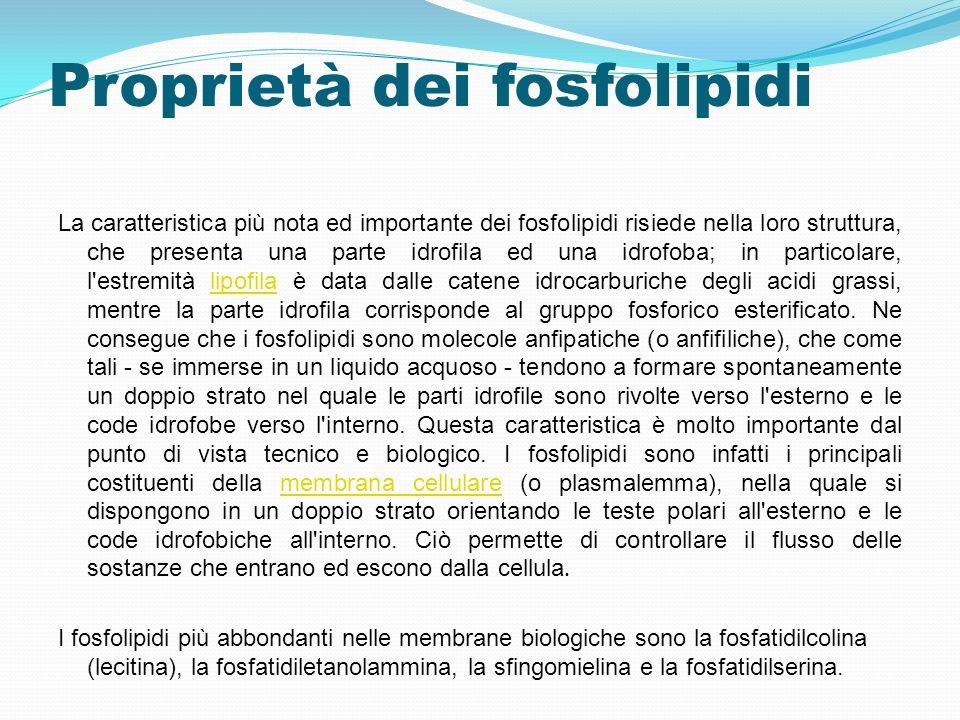 Proprietà dei fosfolipidi La caratteristica più nota ed importante dei fosfolipidi risiede nella loro struttura, che presenta una parte idrofila ed un