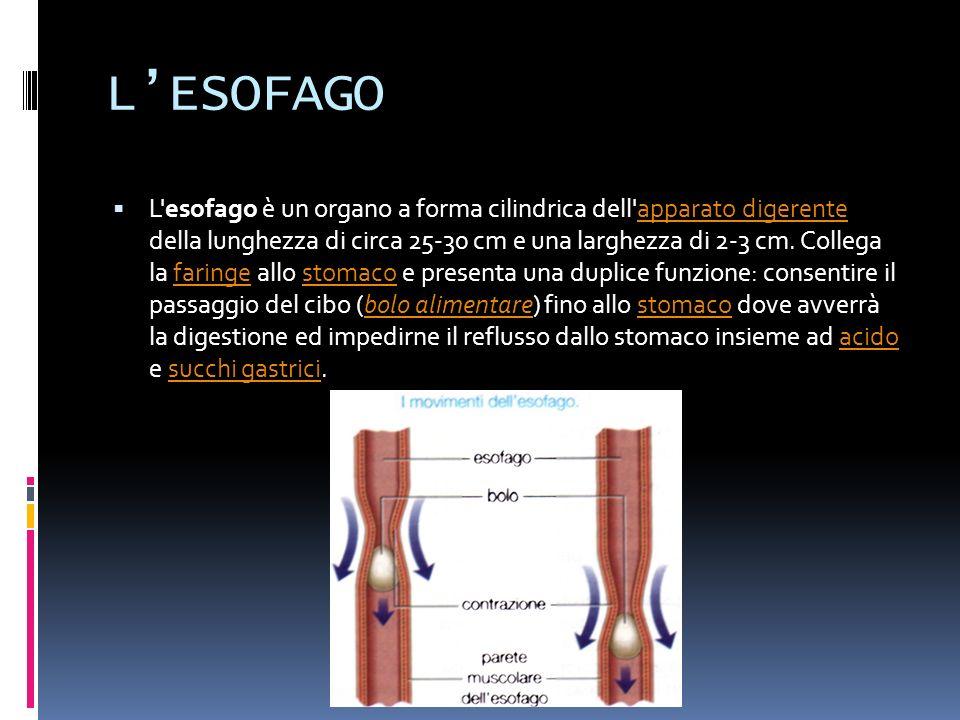 LESOFAGO L esofago è un organo a forma cilindrica dell apparato digerente della lunghezza di circa 25-30 cm e una larghezza di 2-3 cm.