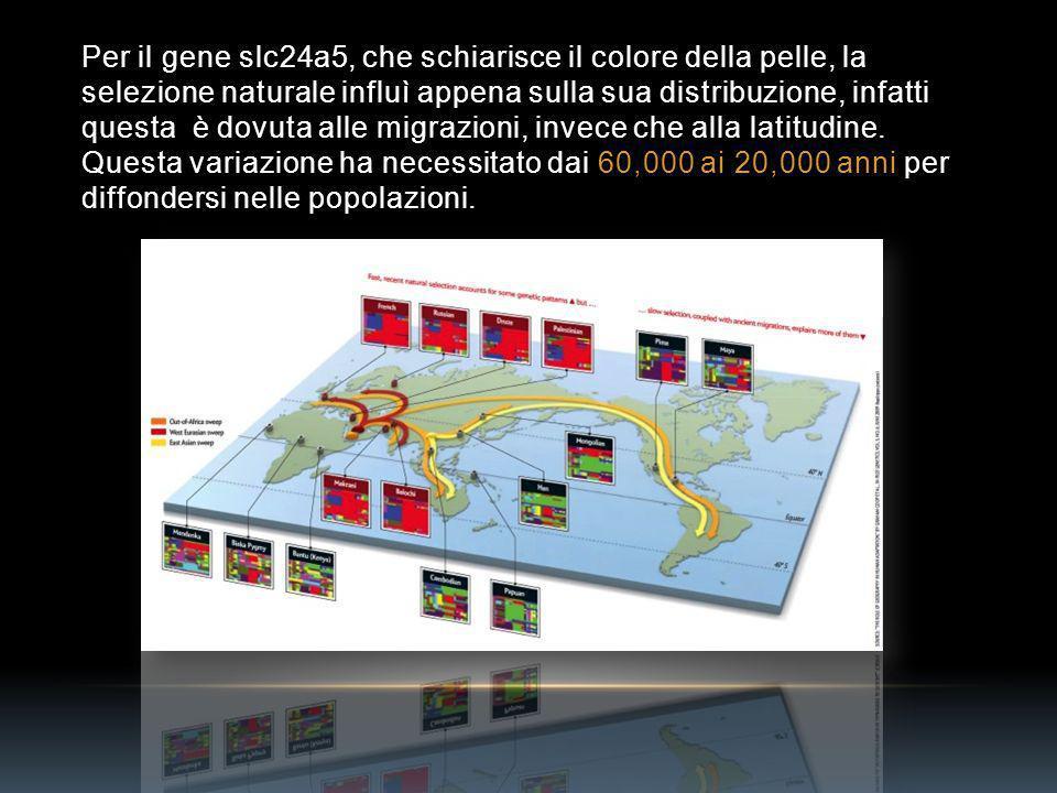 Per il gene slc24a5, che schiarisce il colore della pelle, la selezione naturale influì appena sulla sua distribuzione, infatti questa è dovuta alle migrazioni, invece che alla latitudine.