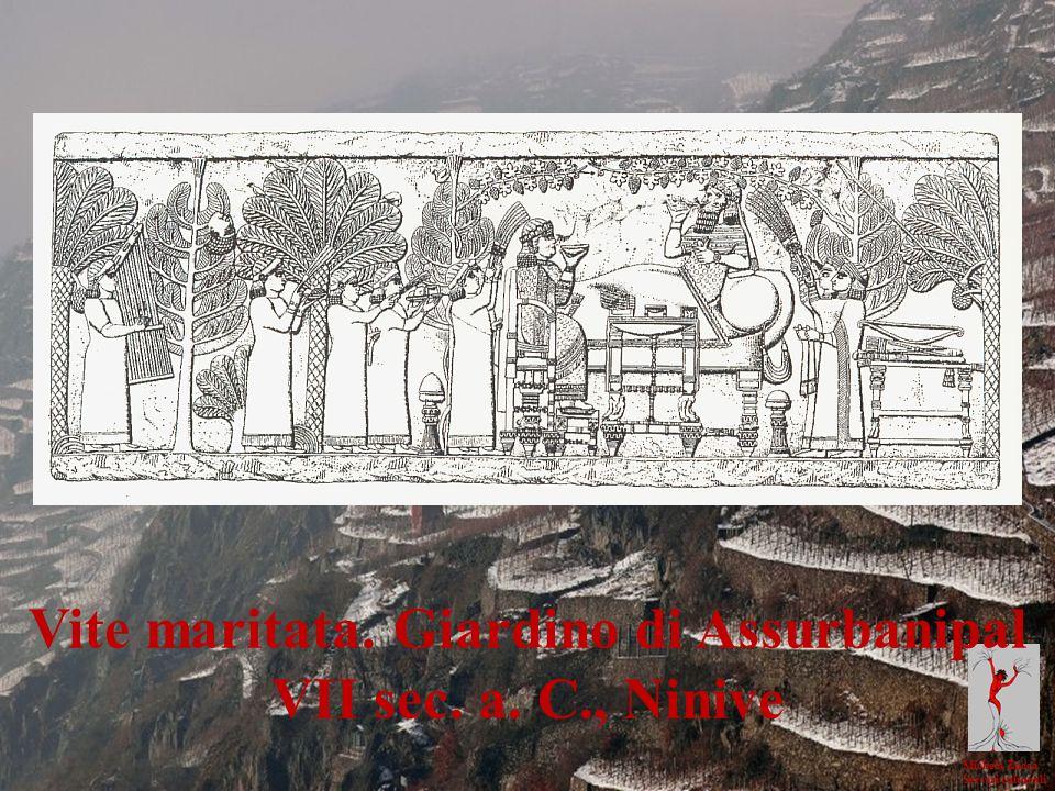 Michela Zucca Servizi culturali Il vino dei Reti e la viticoltura Vite maritata. Giardino di Assurbanipal VII sec. a. C., Ninive