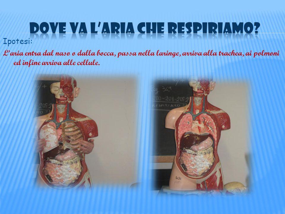 Ipotesi: Laria entra dal naso o dalla bocca, passa nella laringe, arriva alla trachea, ai polmoni ed infine arriva alle cellule.