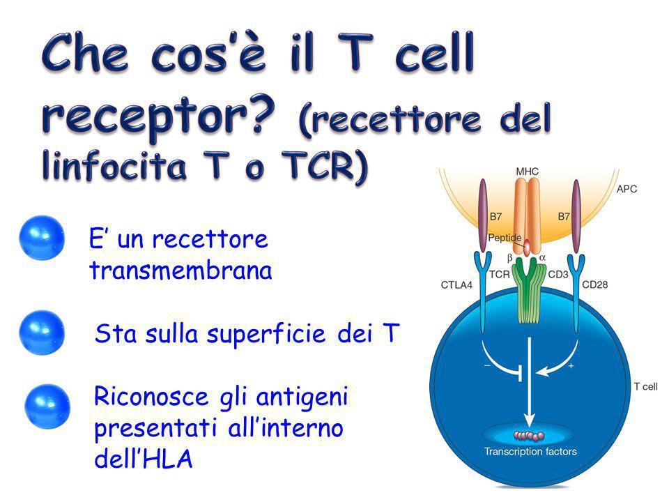 E un recettore transmembrana Sta sulla superficie dei T Riconosce gli antigeni presentati allinterno dellHLA