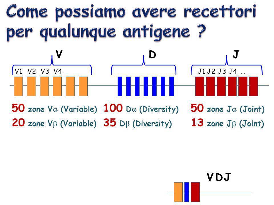 V1V2V3V4J1J2J3J4… VDJ VDJ 50 zone V (Variable) 20 zone V (Variable) 50 zone J (Joint) 13 zone J (Joint) 100 D (Diversity) 35 D (Diversity)