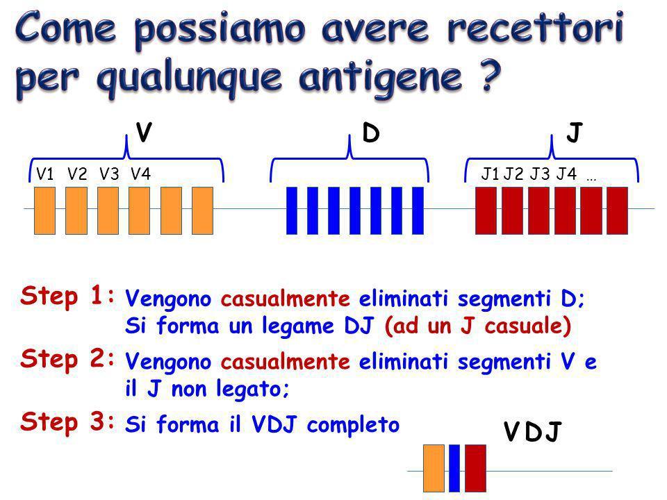 V1V2V3V4J1J2J3J4… VDJ Step 1: Vengono casualmente eliminati segmenti D; Si forma un legame DJ (ad un J casuale) Step 2: Vengono casualmente eliminati