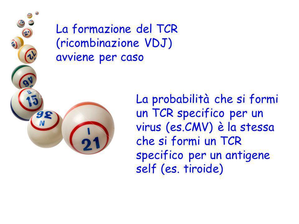 La probabilità che si formi un TCR specifico per un virus (es.CMV) è la stessa che si formi un TCR specifico per un antigene self (es. tiroide) La for