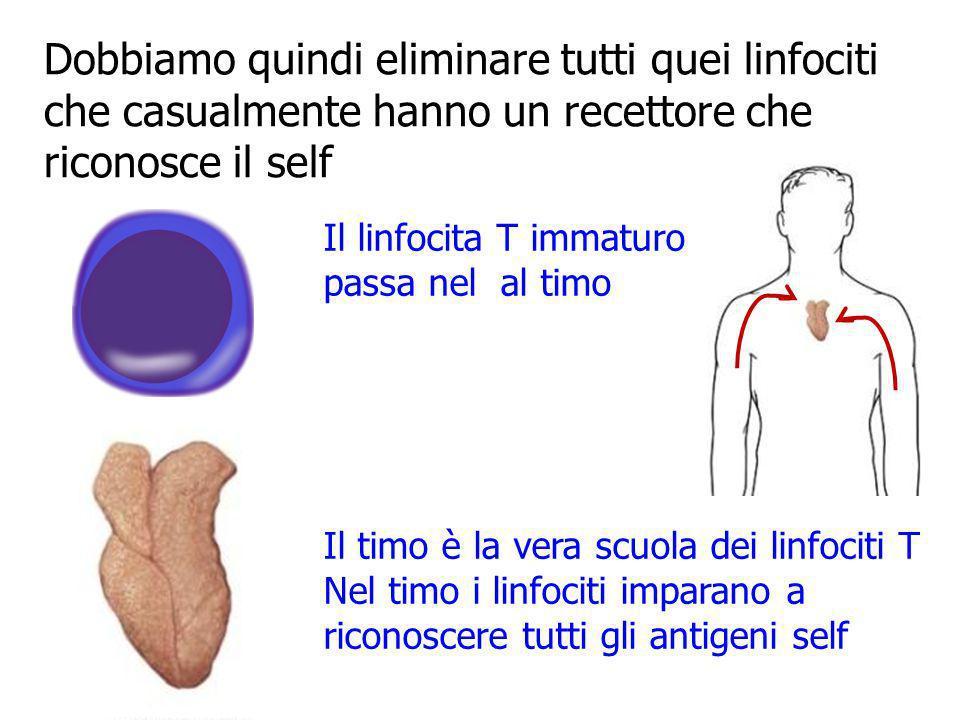 Dobbiamo quindi eliminare tutti quei linfociti che casualmente hanno un recettore che riconosce il self Il linfocita T immaturo passa nel al timo Il t