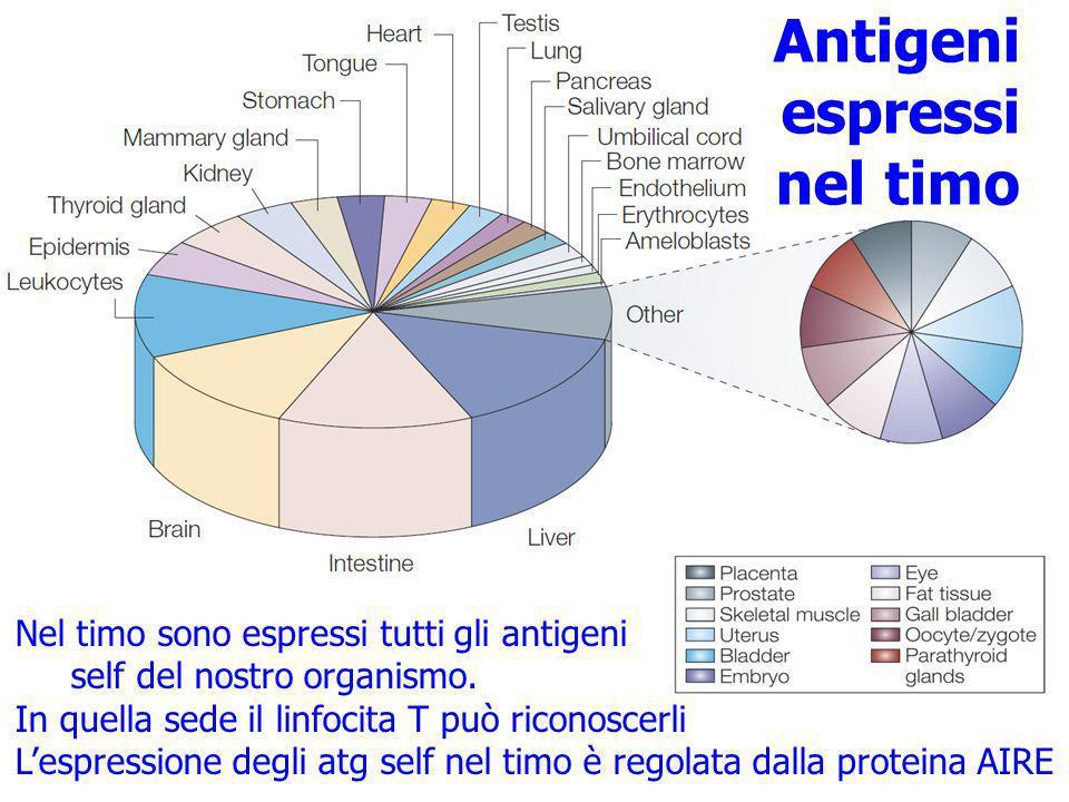 Nel timo sono espressi tutti gli antigeni self del nostro organismo. In quella sede il linfocita T può riconoscerli Lespressione degli atg self nel ti