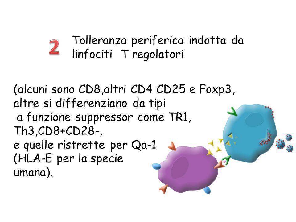 Tolleranza periferica indotta da linfociti T regolatori (alcuni sono CD8,altri CD4 CD25 e Foxp3, altre si differenziano da tipi a funzione suppressor