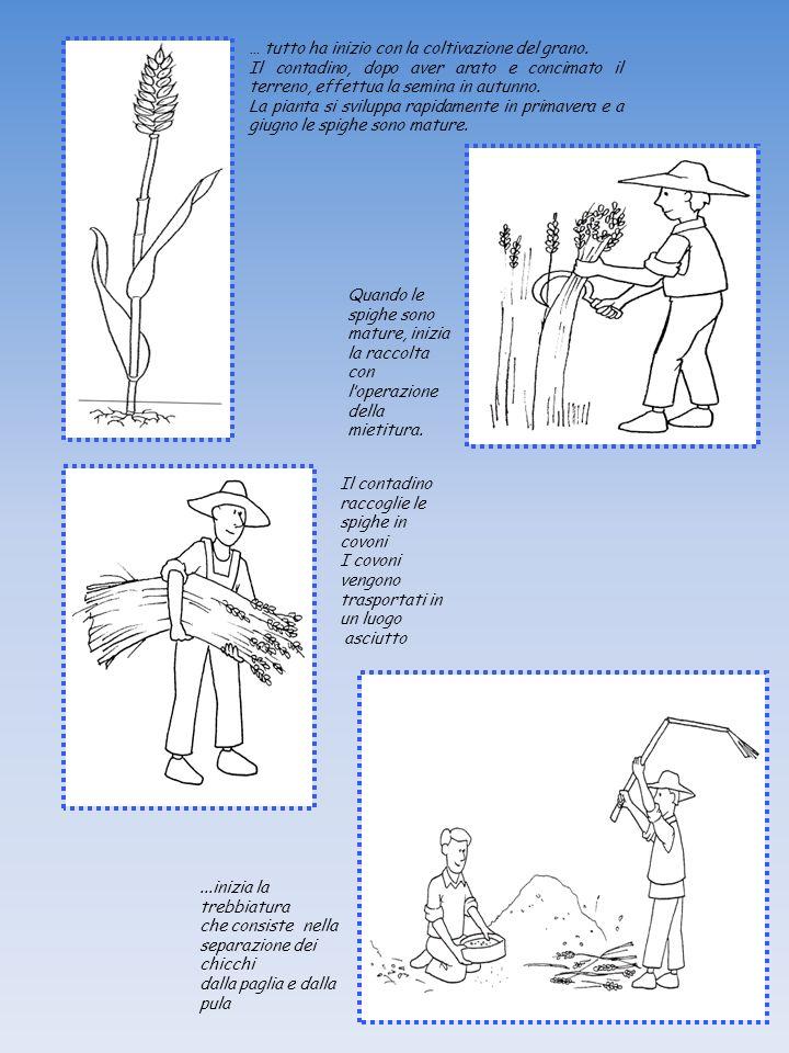 … tutto ha inizio con la coltivazione del grano. Il contadino, dopo aver arato e concimato il terreno, effettua la semina in autunno. La pianta si svi