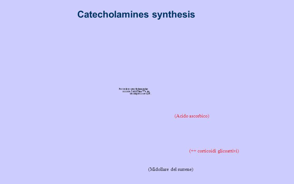 Catecholamines synthesis (Midollare del surrene) (Acido ascorbico) (++ corticoidi glicoattivi)