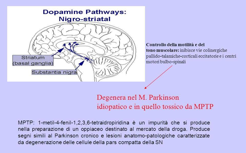 Controllo della motilità e del tono muscolare: inibisce vie colinergiche pallido-talamiche-corticali eccitatorie e i centri motori bulbo-spinali Degenera nel M.