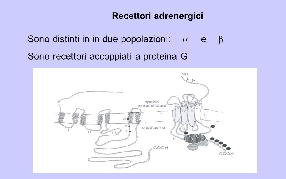 Recettori adrenergici Sono distinti in in due popolazioni: e Sono recettori accoppiati a proteina G