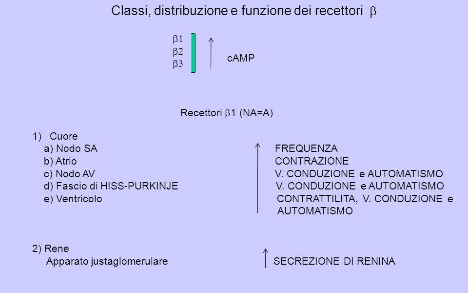 Classi, distribuzione e funzione dei recettori cAMP 1)Cuore a) Nodo SA FREQUENZA b) Atrio CONTRAZIONE c) Nodo AV V.