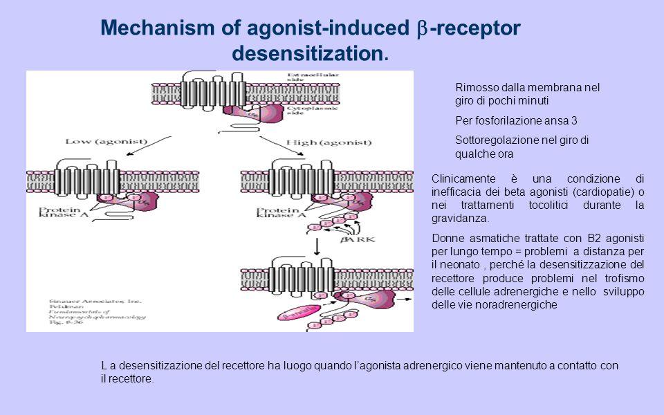 Mechanism of agonist-induced -receptor desensitization.