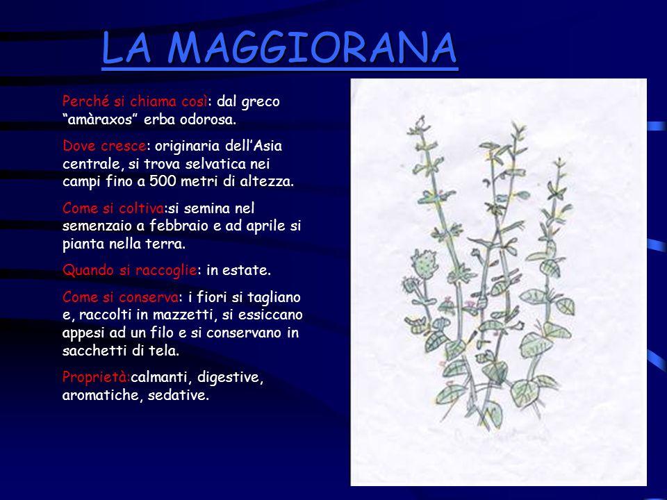 LA MAGGIORANA LA MAGGIORANA Perché si chiama così: dal greco amàraxos erba odorosa. Dove cresce: originaria dellAsia centrale, si trova selvatica nei