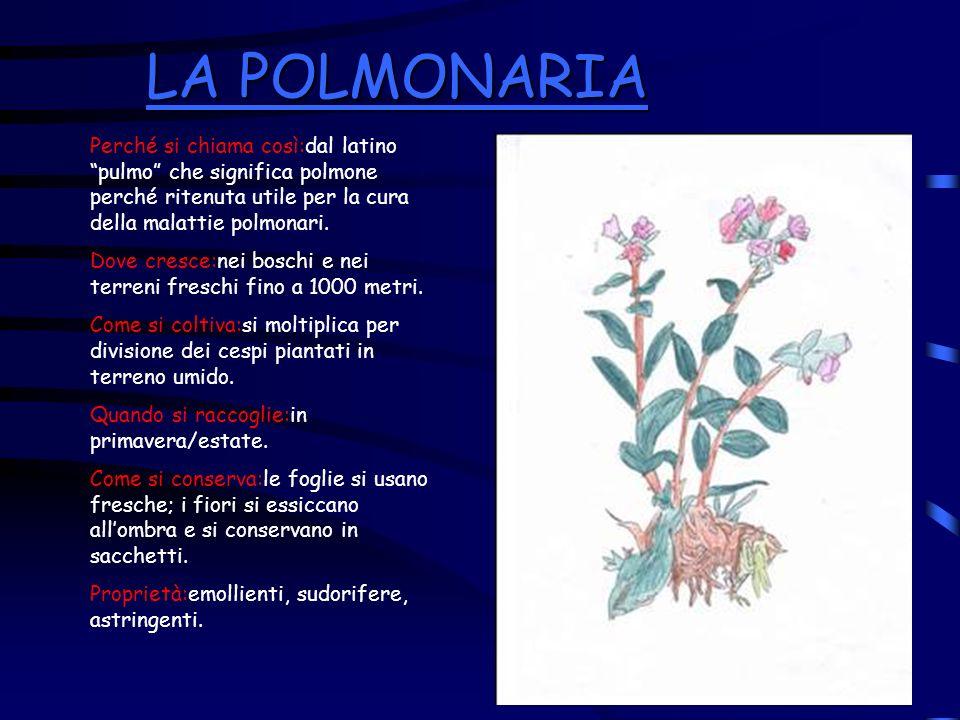 LA POLMONARIA LA POLMONARIA Perché si chiama così:dal latino pulmo che significa polmone perché ritenuta utile per la cura della malattie polmonari. D