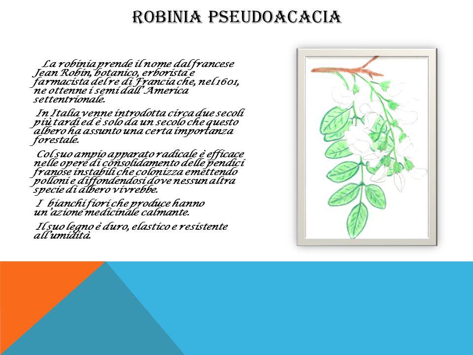 La robinia prende il nome dal francese Jean Robin, botanico, erborista e farmacista del re di Francia che, nel 1601, ne ottenne i semi dall America se