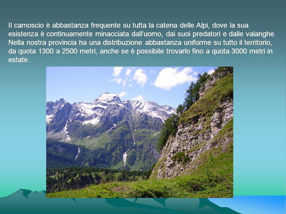 Il camoscio è abbastanza frequente su tutta la catena delle Alpi, dove la sua esistenza è continuamente minacciata dalluomo, dai suoi predatori e dall
